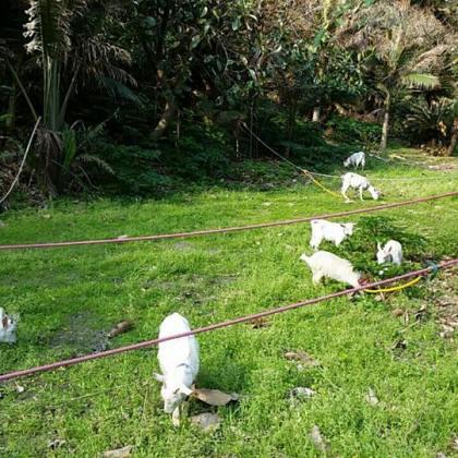シェルゥーム奄美農園,山羊の草刈り