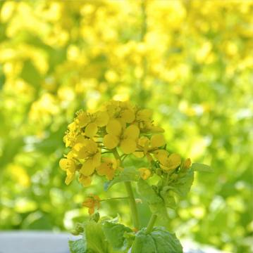 シェルゥームの庭_菜の花