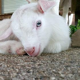 シェルゥーム 山羊の赤ちゃん